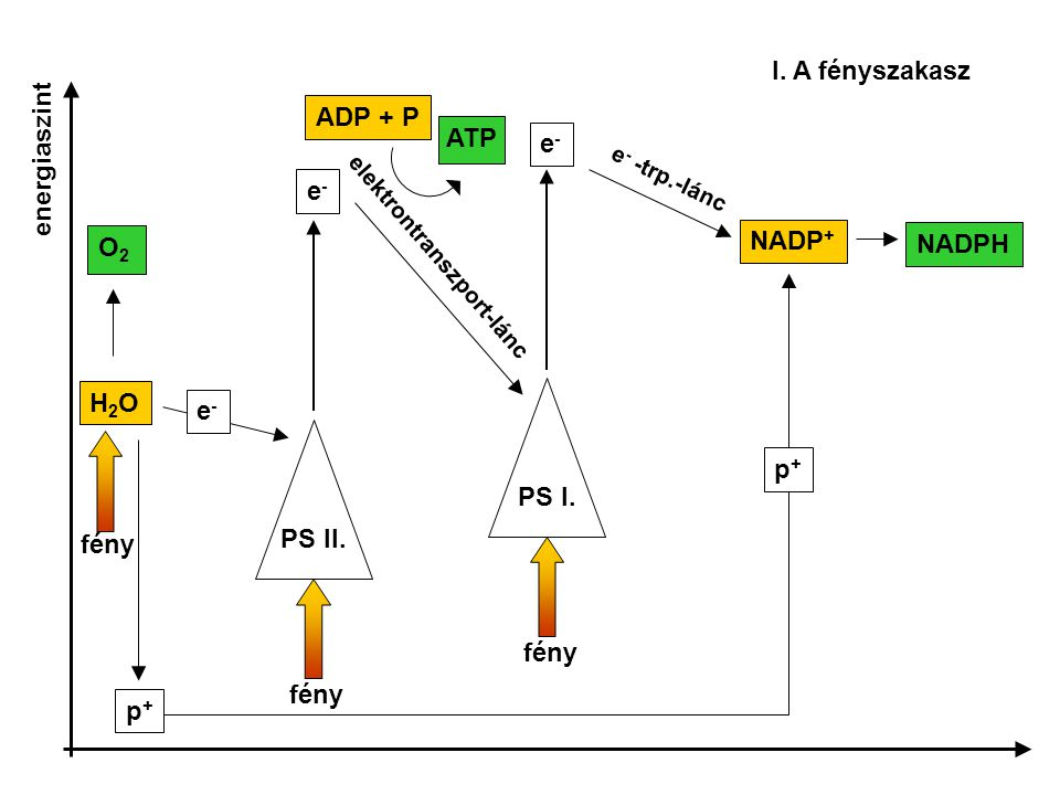 I. A fényszakasz ADP + P energiaszint ATP e- e- NADP+ NADPH O2 H2O e-