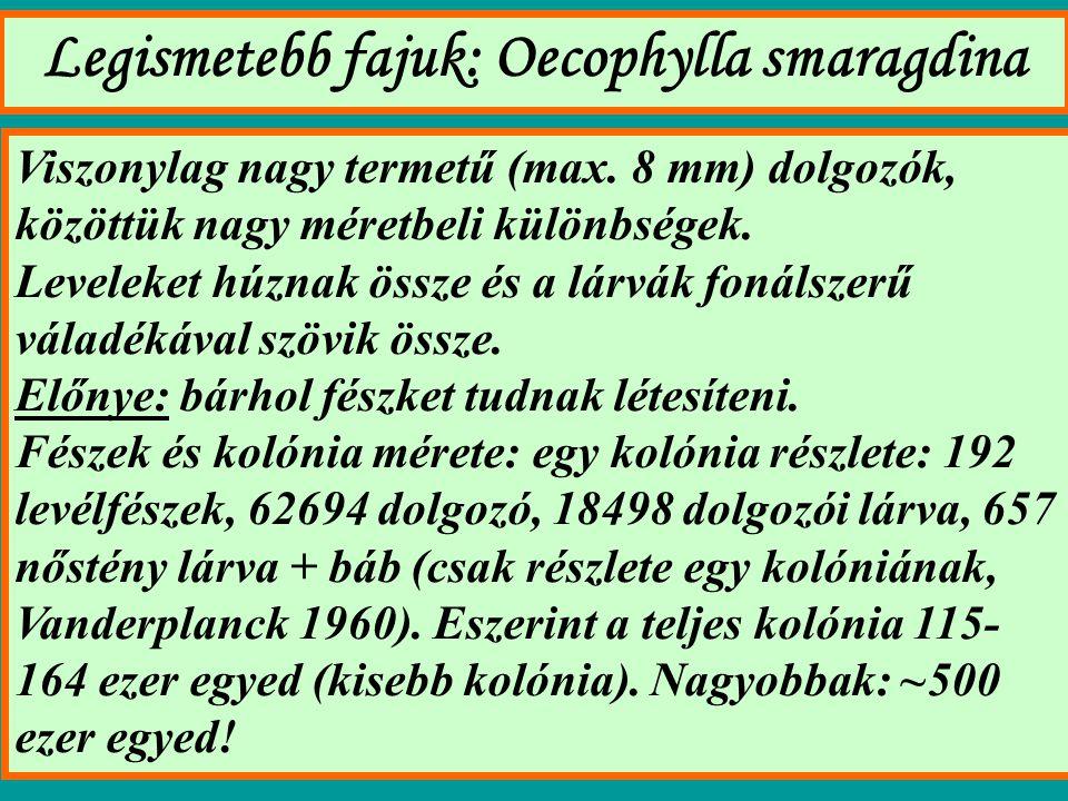 Legismetebb fajuk: Oecophylla smaragdina