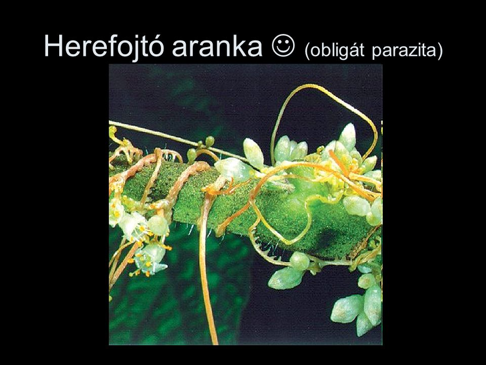 Herefojtó aranka  (obligát parazita)
