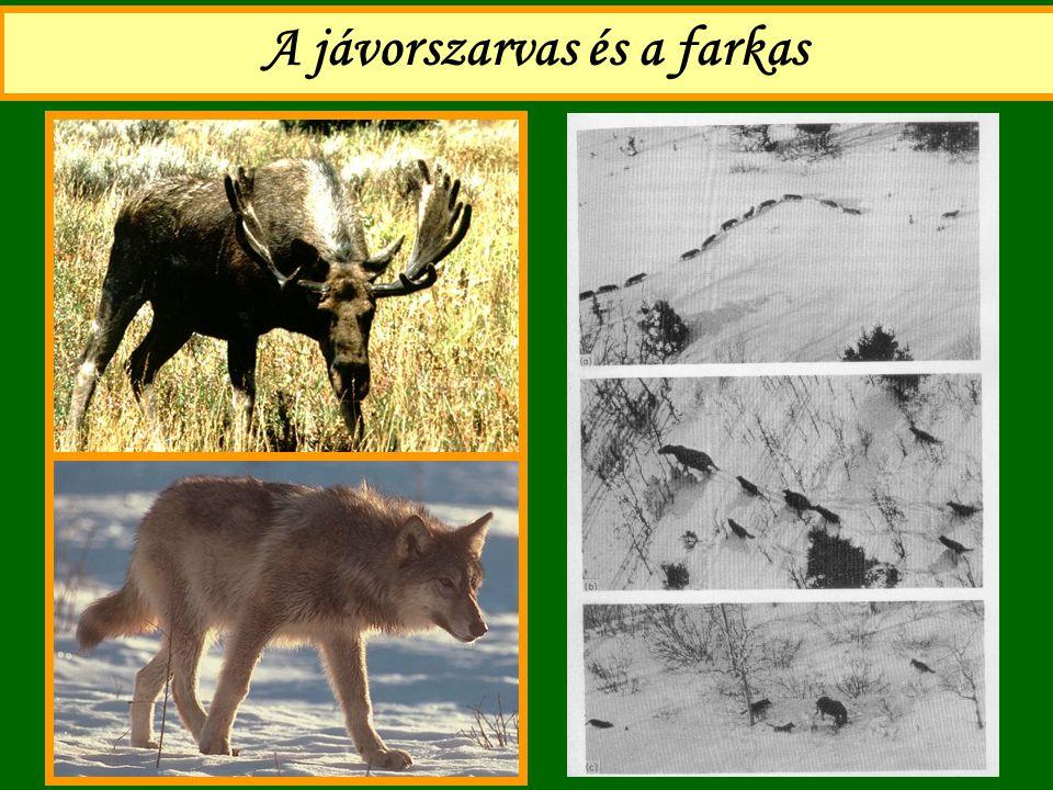 A jávorszarvas és a farkas