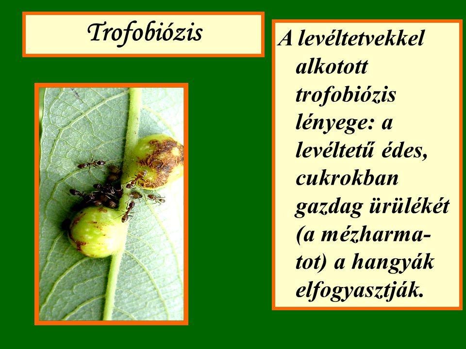 Trofobiózis A levéltetvekkel alkotott trofobiózis lényege: a levéltetű édes, cukrokban gazdag ürülékét (a mézharma-tot) a hangyák elfogyasztják.