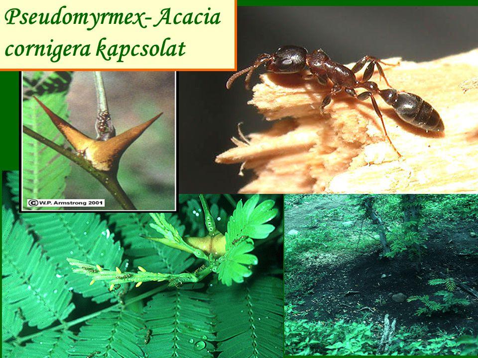 Pseudomyrmex- Acacia cornigera kapcsolat