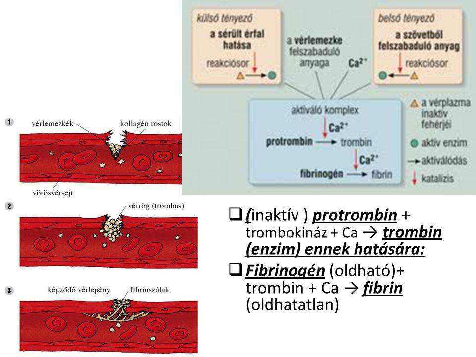 (inaktív ) protrombin + trombokináz + Ca → trombin (enzim) ennek hatására: