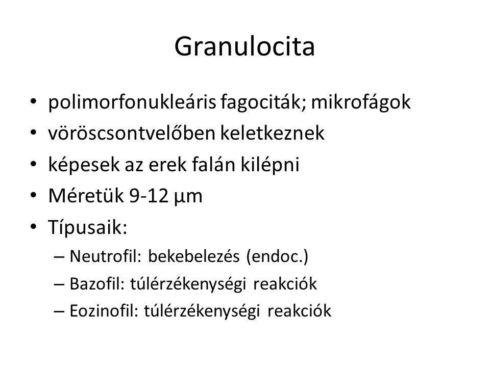 Granulocita polimorfonukleáris fagociták; mikrofágok
