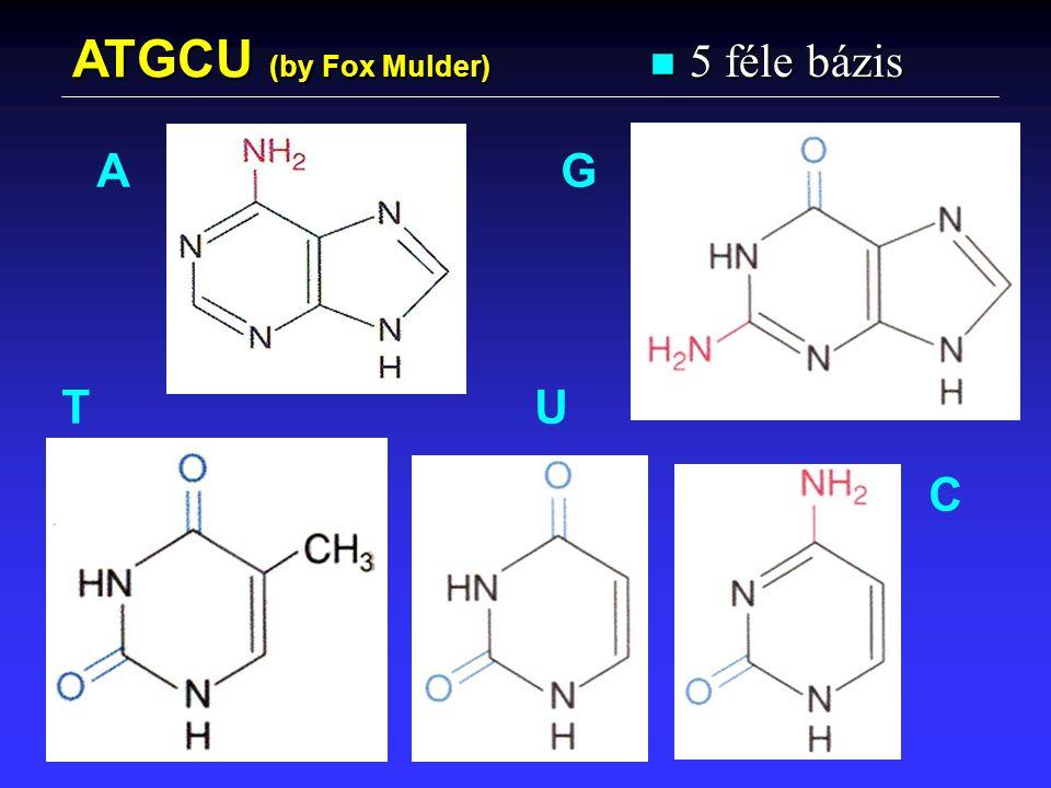 ATGCU (by Fox Mulder) 5 féle bázis A G T U C