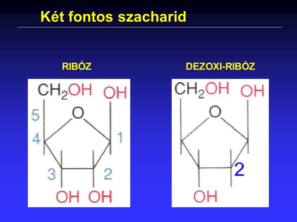 Két fontos szacharid RIBÓZ DEZOXI-RIBÓZ