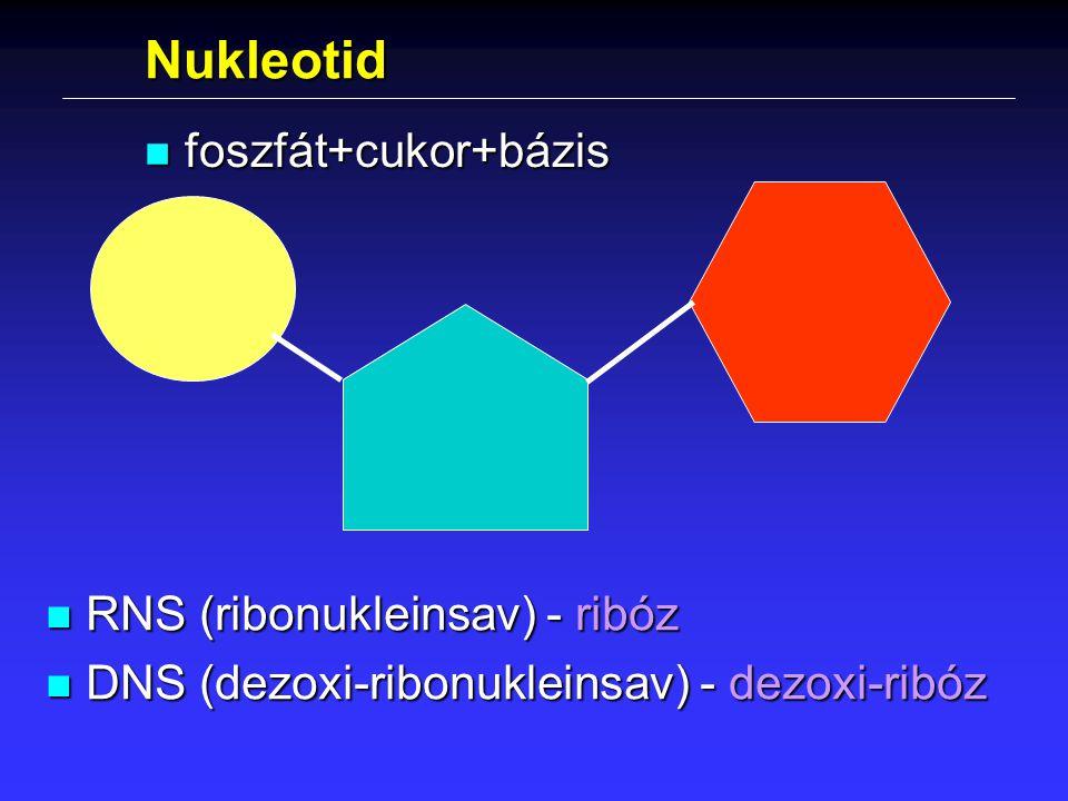 Nukleotid foszfát+cukor+bázis RNS (ribonukleinsav) - ribóz