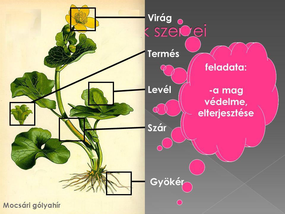 A zárvatermők szervei Virág feladata: -fotoszintézis -párologtatás