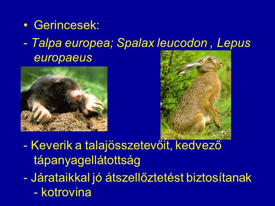 Gerincesek: - Talpa europea; Spalax leucodon , Lepus europaeus. - Keverik a talajösszetevőit, kedvező tápanyagellátottság.