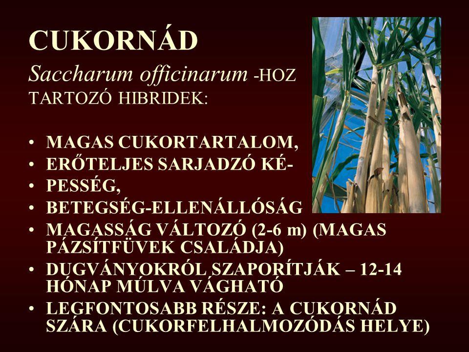 CUKORNÁD Saccharum officinarum -HOZ TARTOZÓ HIBRIDEK: