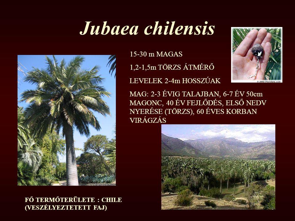 Jubaea chilensis 15-30 m MAGAS 1,2-1,5m TÖRZS ÁTMÉRŐ