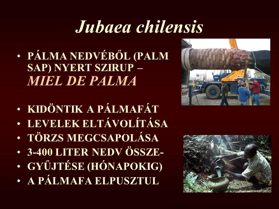 Jubaea chilensis PÁLMA NEDVÉBŐL (PALM SAP) NYERT SZIRUP – MIEL DE PALMA. KIDÖNTIK A PÁLMAFÁT. LEVELEK ELTÁVOLÍTÁSA.