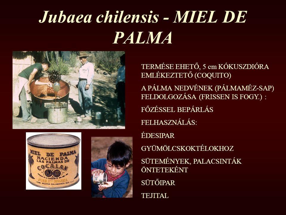 Jubaea chilensis - MIEL DE PALMA