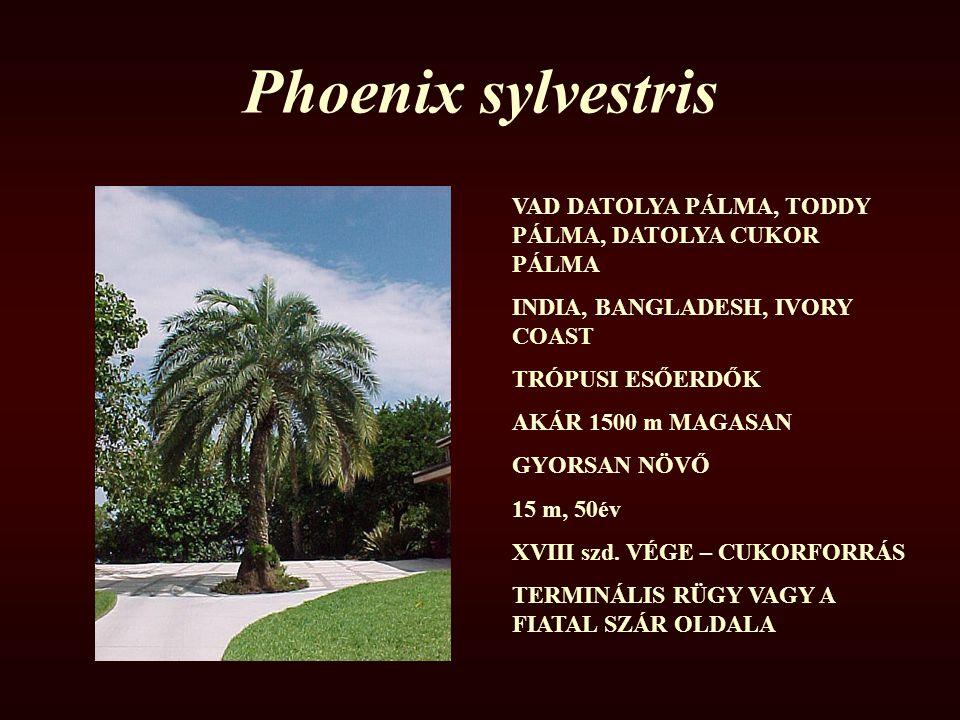 Phoenix sylvestris VAD DATOLYA PÁLMA, TODDY PÁLMA, DATOLYA CUKOR PÁLMA