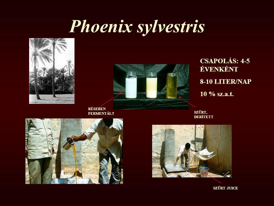 Phoenix sylvestris CSAPOLÁS: 4-5 ÉVENKÉNT 8-10 LITER/NAP 10 % sz.a.t.