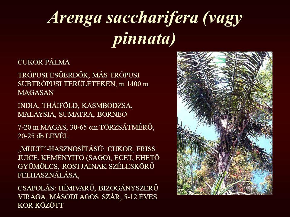 Arenga saccharifera (vagy pinnata)