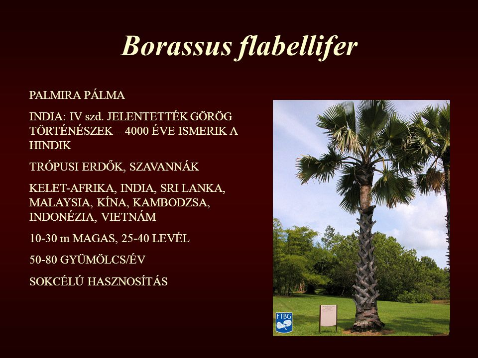 Borassus flabellifer PALMIRA PÁLMA