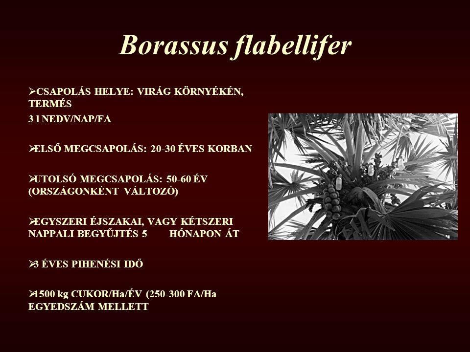 Borassus flabellifer CSAPOLÁS HELYE: VIRÁG KÖRNYÉKÉN, TERMÉS