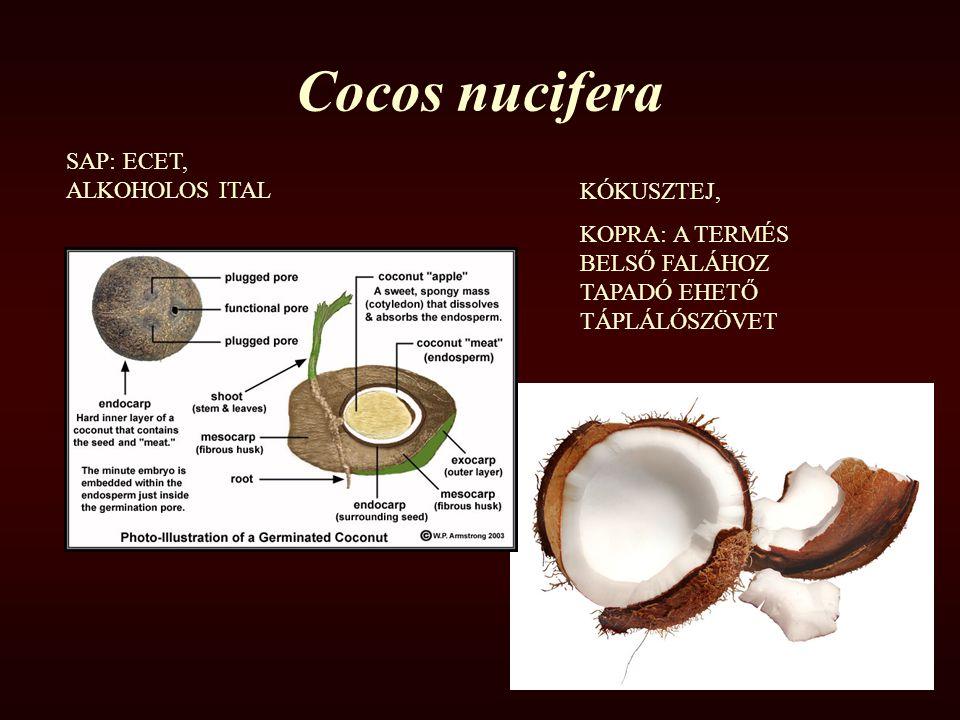 Cocos nucifera SAP: ECET, ALKOHOLOS ITAL KÓKUSZTEJ,