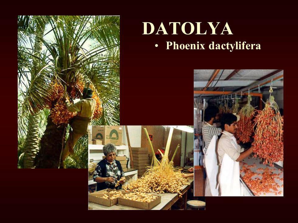 DATOLYA Phoenix dactylifera