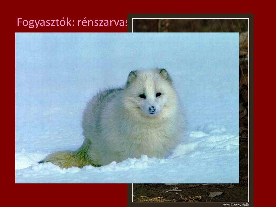 Fogyasztók: rénszarvas, lemming Ragadozók: farkas, sarki róka, hóbagoly