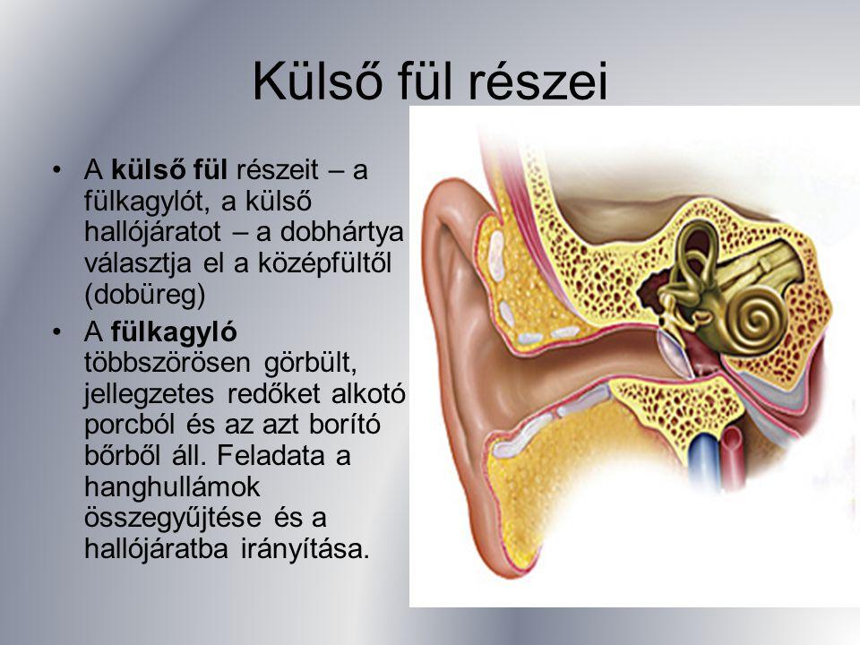 Külső fül részei A külső fül részeit – a fülkagylót, a külső hallójáratot – a dobhártya választja el a középfültől (dobüreg)