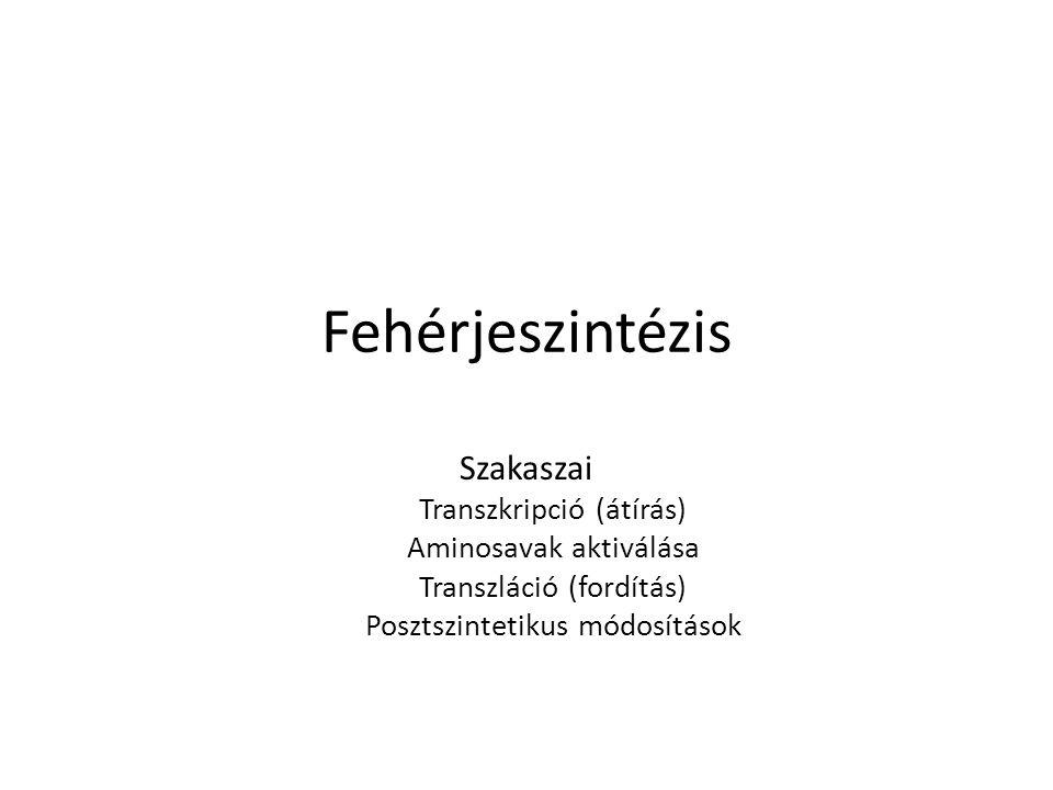 Fehérjeszintézis Szakaszai Transzkripció (átírás)