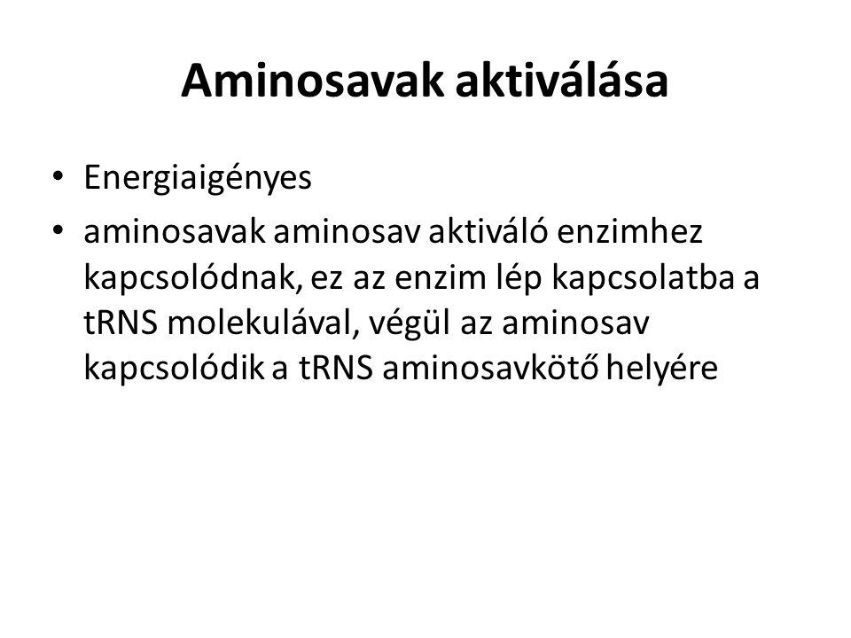 Aminosavak aktiválása