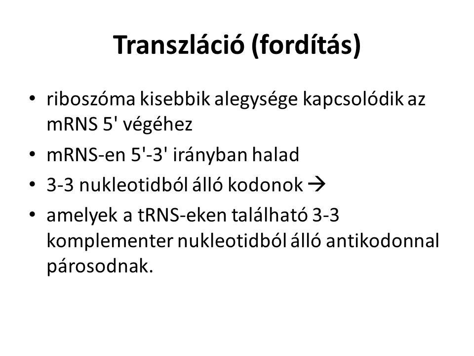 Transzláció (fordítás)