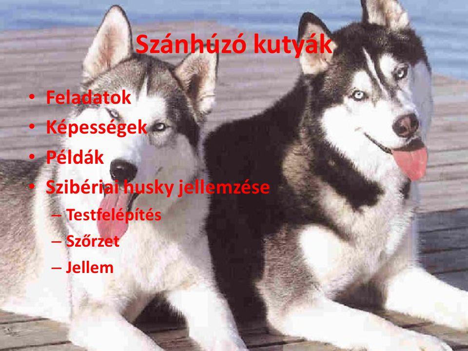 Szánhúzó kutyák Feladatok Képességek Példák Szibériai husky jellemzése