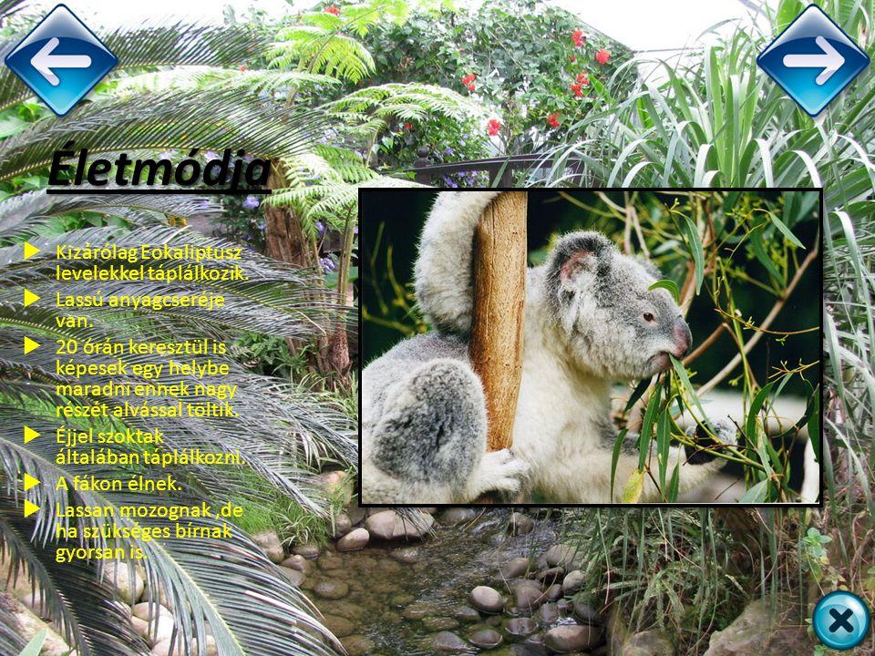 Életmódja Kizárólag Eokaliptusz levelekkel táplálkozik.