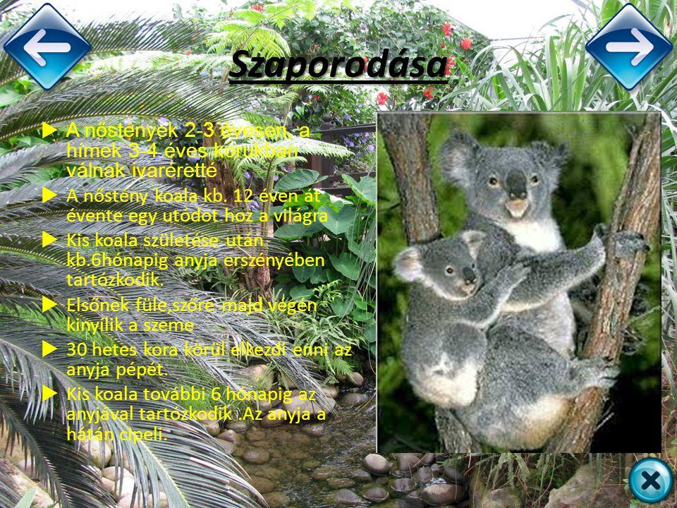 Szaporodása A nőstények 2-3 évesen, a hímek 3-4 éves korukban válnak ivaréretté. A nőstény koala kb. 12 éven át évente egy utódot hoz a világra.