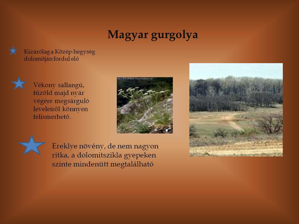 Magyar gurgolya Kizárólag a Közép-hegység dolomitján fordul elő.