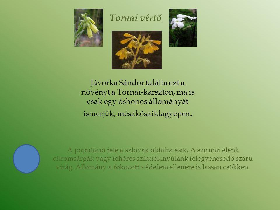 Tornai vértő Jávorka Sándor találta ezt a növényt a Tornai-karszton, ma is csak egy őshonos állományát ismerjük, mészkősziklagyepen.