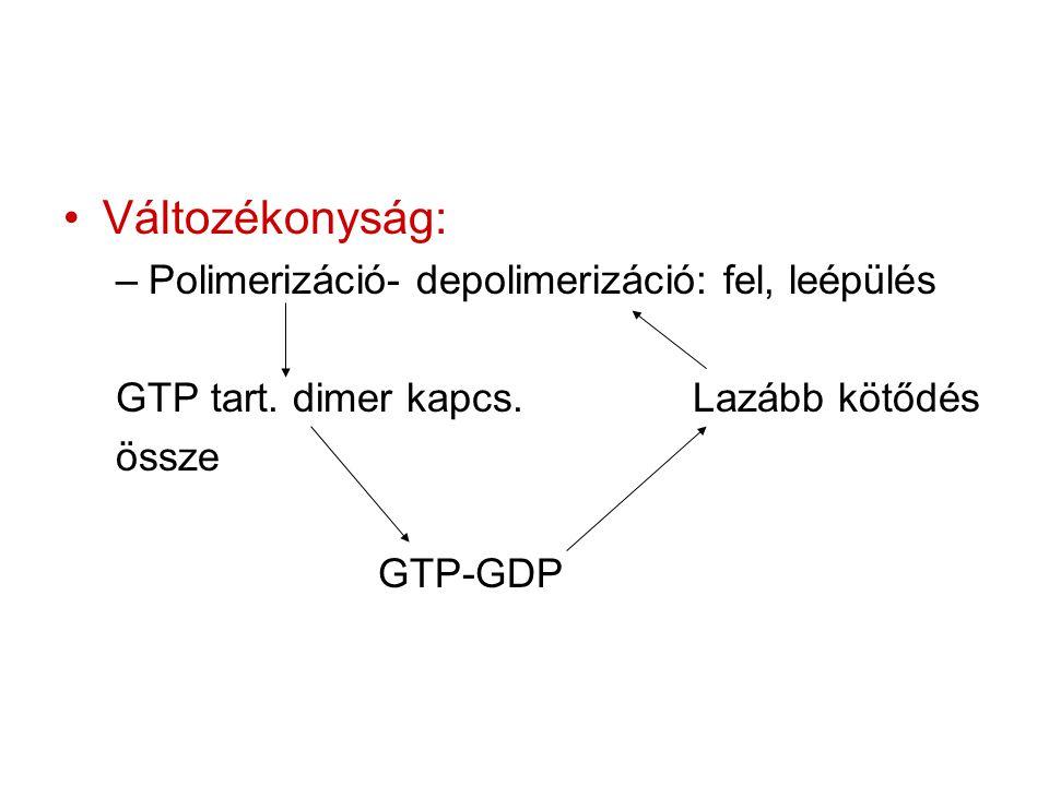 Változékonyság: Polimerizáció- depolimerizáció: fel, leépülés