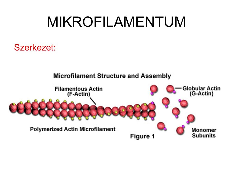 MIKROFILAMENTUM Szerkezet: