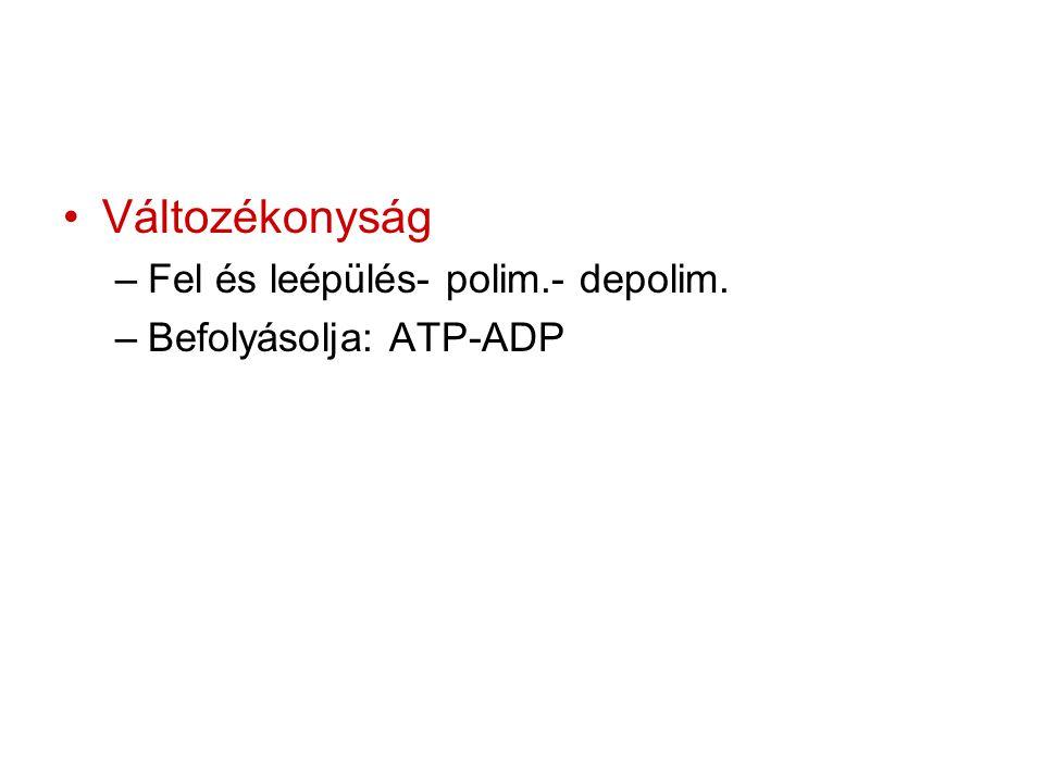 Változékonyság Fel és leépülés- polim.- depolim. Befolyásolja: ATP-ADP
