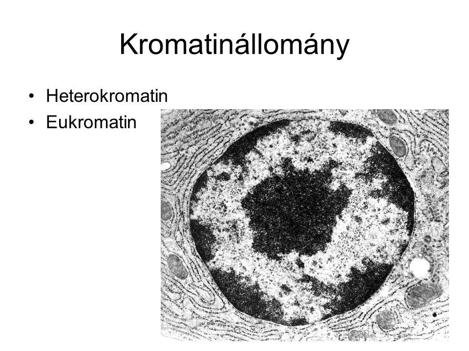 Kromatinállomány Heterokromatin Eukromatin