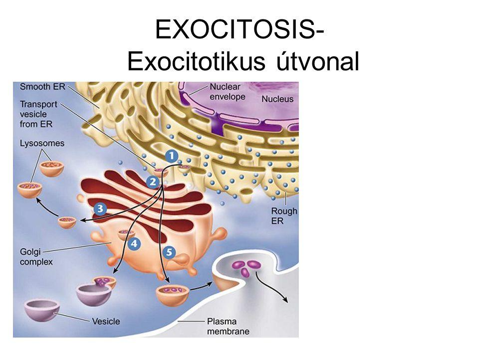 EXOCITOSIS- Exocitotikus útvonal