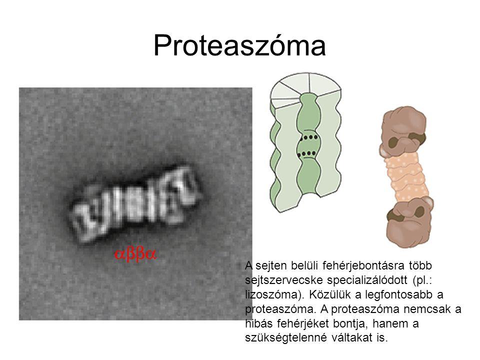 Proteaszóma