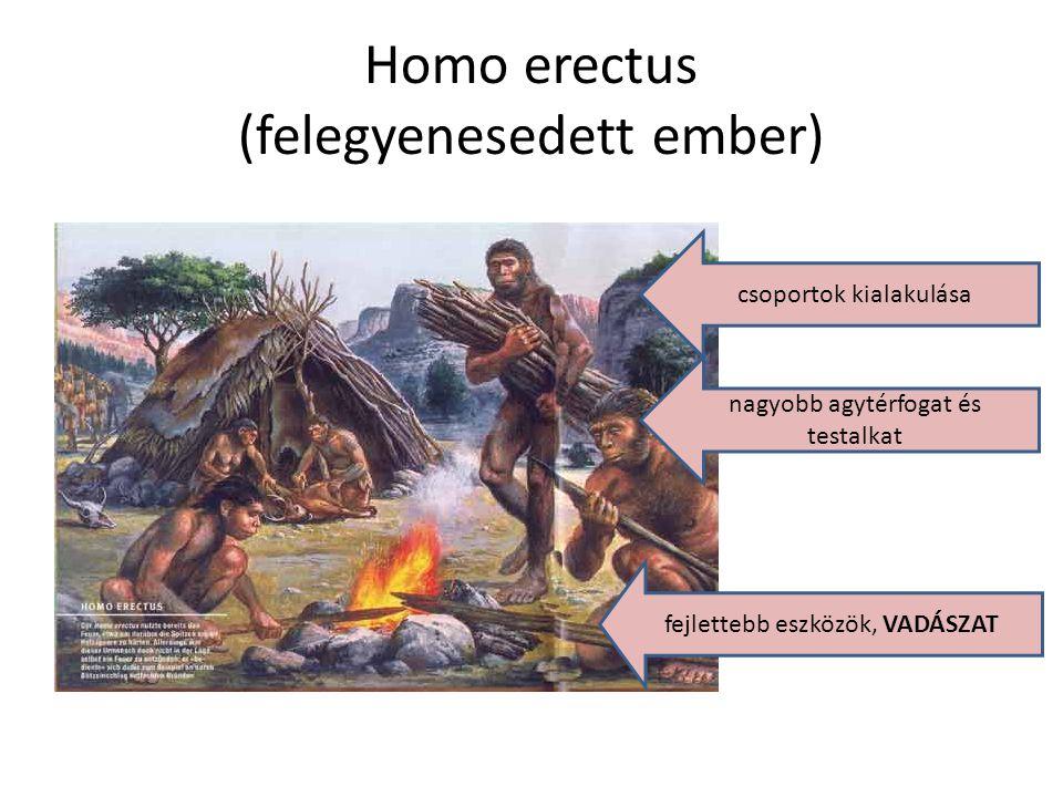 Homo erectus (felegyenesedett ember)