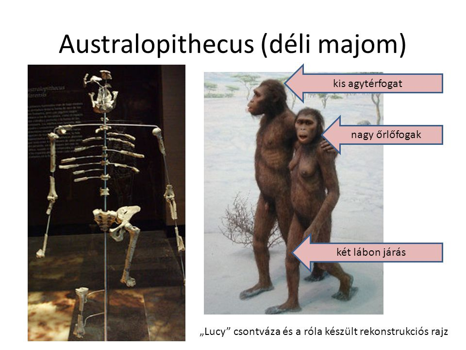 Australopithecus (déli majom)