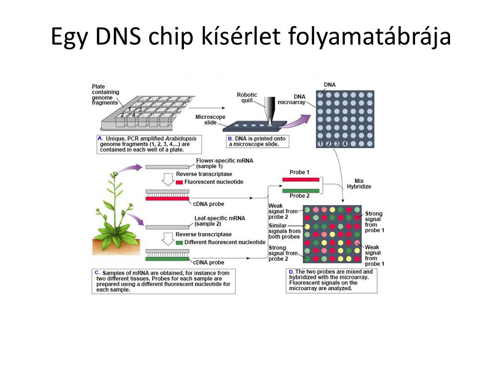 Egy DNS chip kísérlet folyamatábrája