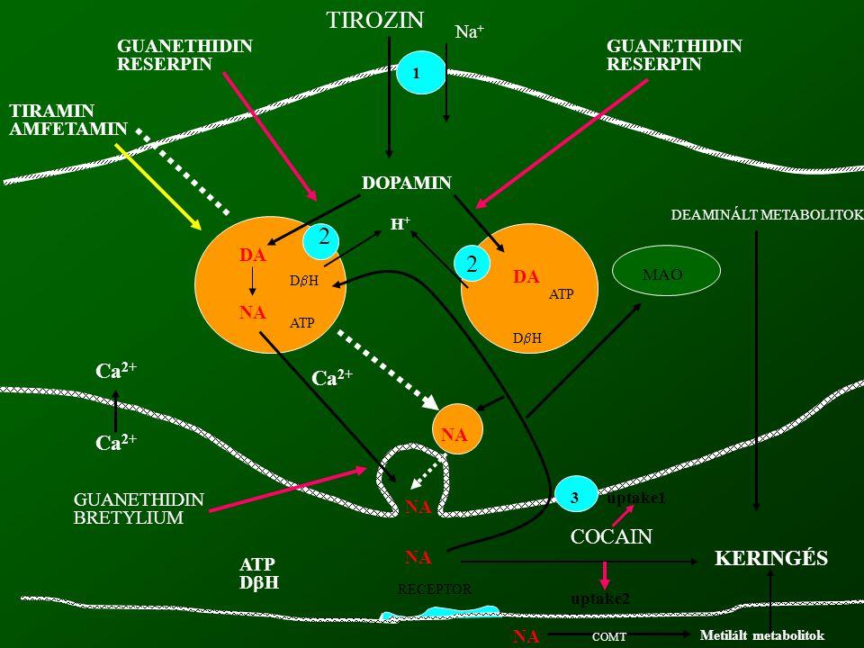 TIROZIN 2 2 Ca2+ Ca2+ Ca2+ COCAIN KERINGÉS Na+ GUANETHIDIN RESERPIN