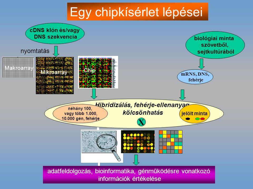 Hibridizálás, fehérje-ellenanyag
