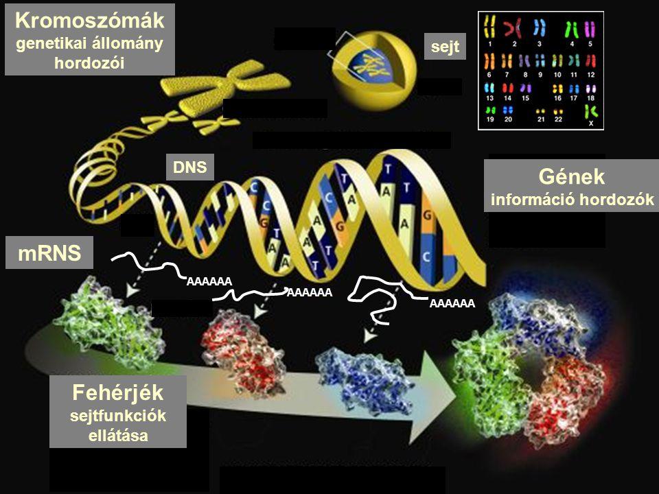 genetikai állomány hordozói sejtfunkciók ellátása