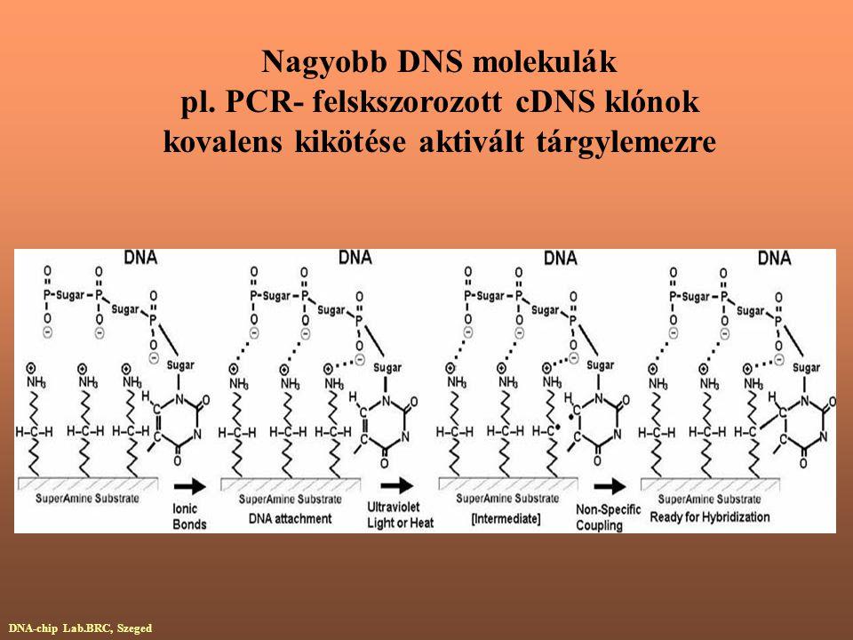 pl. PCR- felskszorozott cDNS klónok