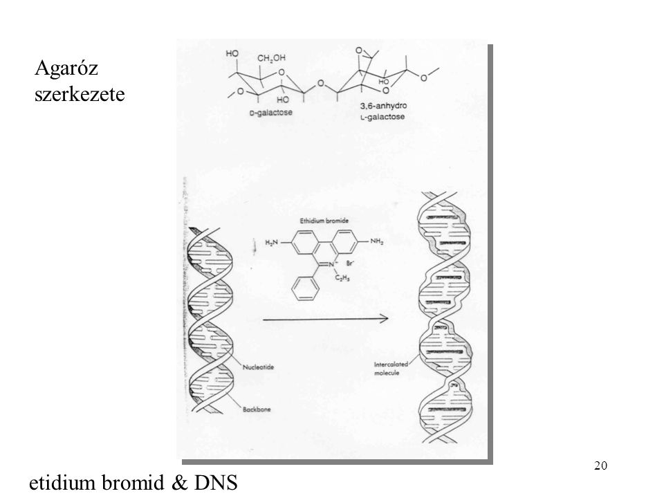 Agaróz szerkezete etidium bromid & DNS