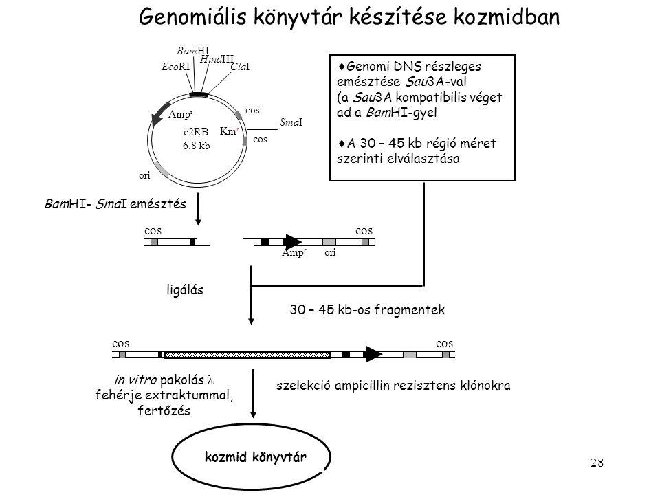Genomiális könyvtár készítése kozmidban
