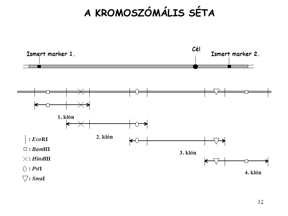 A KROMOSZÓMÁLIS SÉTA Cél Ismert marker 1. Ismert marker 2. 1. klón :